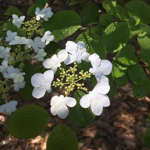 Viburnum furcatum C4L 30/40