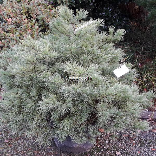 Pinus strobus \'Minima\' C30L 80x100cm