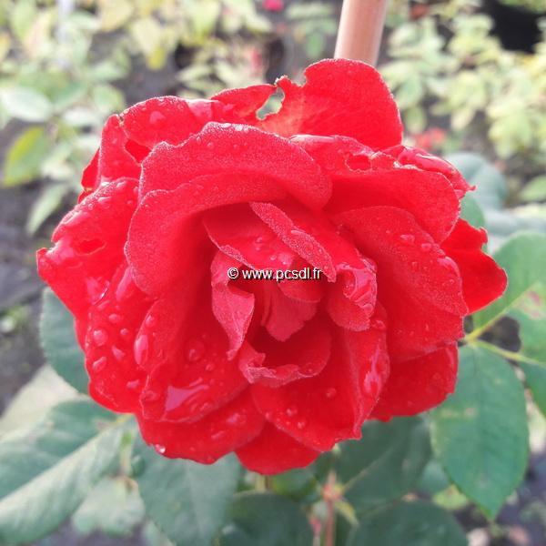Rosa \'Royal Show\' ® C4L 40/60