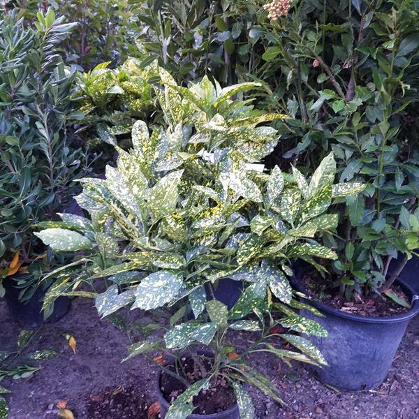 Aucuba japonica \'Crotonifolia\' C10L 80/100
