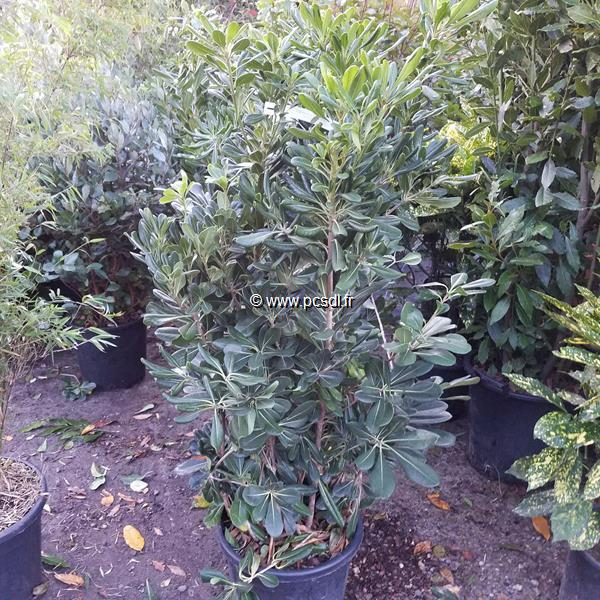 Pittosporum tobira C15L 80/100