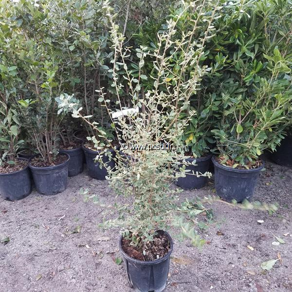 Quercus suber C10L 100/125