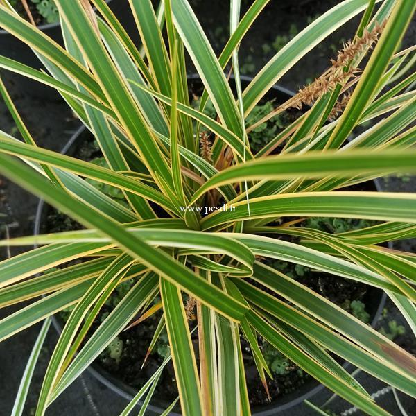 Carex oshimensis Everglow (2)