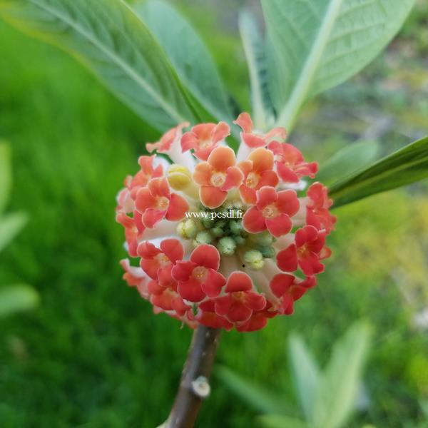Edgeworthia chrysantha Red Dragon (1)