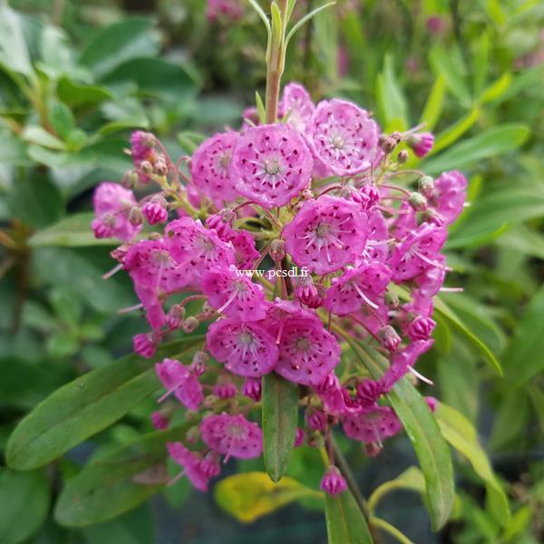 Kalmia angustifolia Rubra (1)