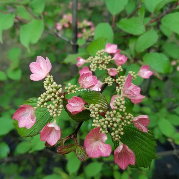 Viburnum plicatum Molly Shroeder (3)