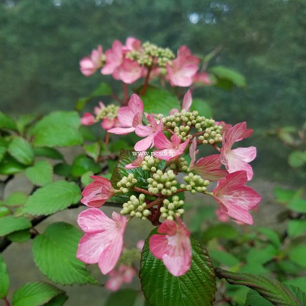 Viburnum plicatum Molly Shroeder (4)