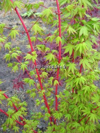 acer palmatum 39 sango kaku 39 tous les arbres p pini res c te sud des landes. Black Bedroom Furniture Sets. Home Design Ideas
