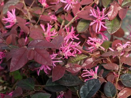 Loropetalum chinense f. rubrum \'Black Pearl\' ® C4L 30/40