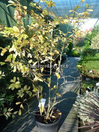 Magnolia x loebneri \'Leonard Messel\' C25L 150/200