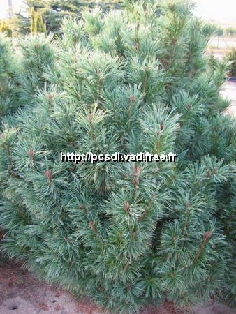 Pinus pumila \'Nana\' C7L 30/40