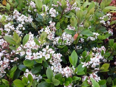 Rhaphiolepis indica 30/40 C4L