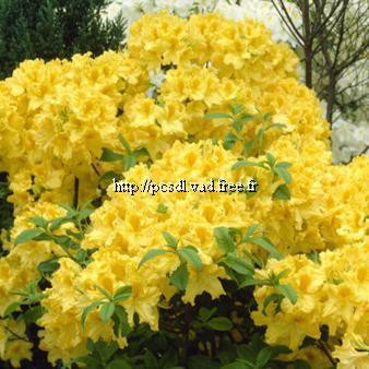 Rhododendron (azalée caduque) \'Annecke\' C4L 40/60