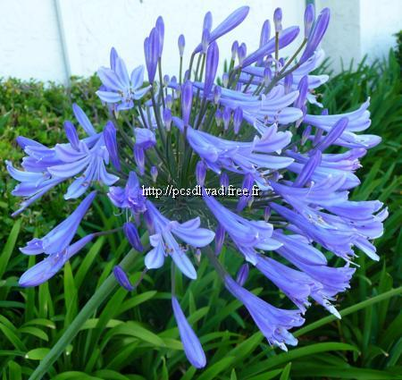 agapanthus%20blue%20giant