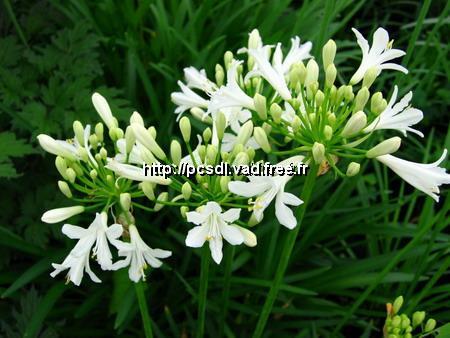 Agapanthus \'Headbourne Hybrids Albus\' C3L