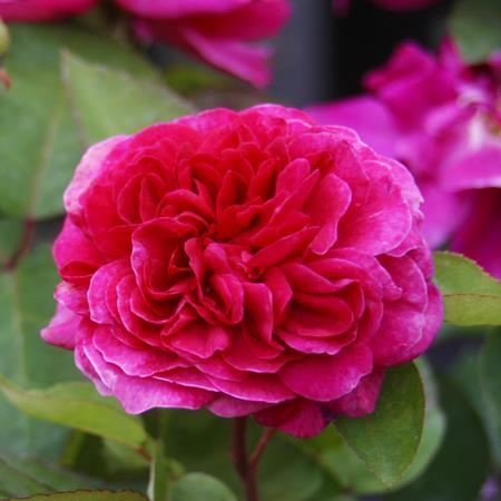Rosa \'Sophy\'s Rose\' ® C4L 40/60