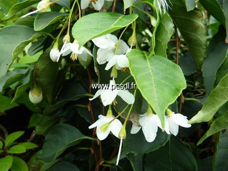 Styrax japonicus \'Fragrant Fountain\' ® C15L 40/50