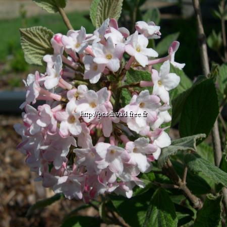 Viburnum x juddii C4L 40/50