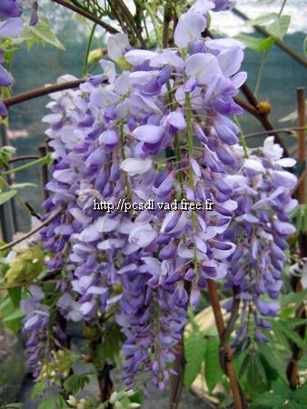 Wisteria sinensis 60 80 c4l toutes les grimpantes for Plante 60 80