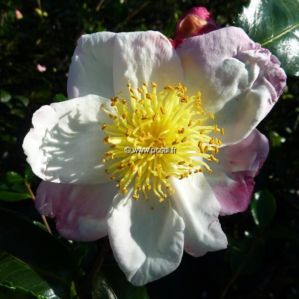 Camellia sasanqua \'Ondée\'