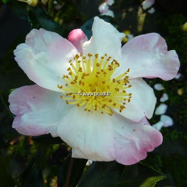 Camellia sasanqua \'Ondée\' C20L 80/100