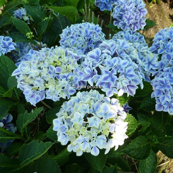 Hydrangea macrophylla \'Frau Taiko\' C4L 20/40