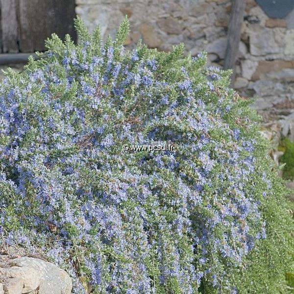 Rosmarinus officinalis \'Pointe du Raz\' 30/40 C4L