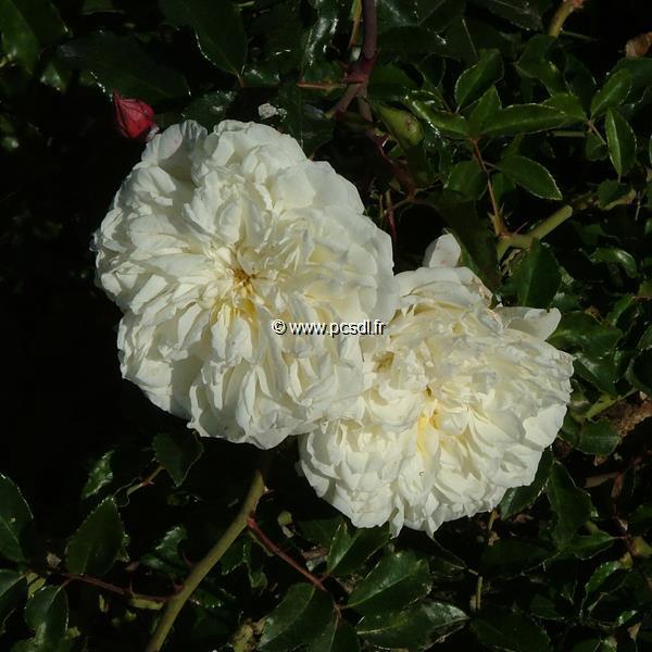 Rosa \'Albéric Barbier\' 40/60 C4L
