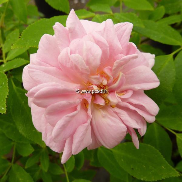 Rosa \'Bloomfield Abundance grimpant\' 40/60 C4L