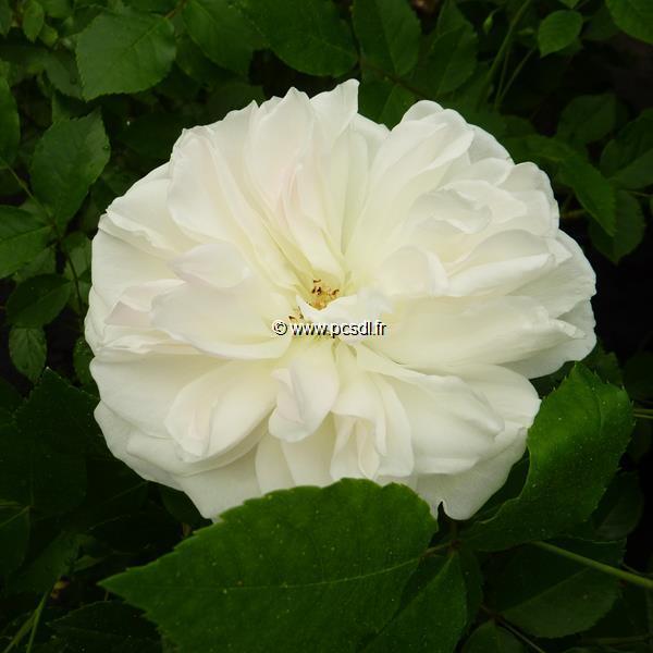 Rosa \'Fée des Neiges\' 40/60 C4L