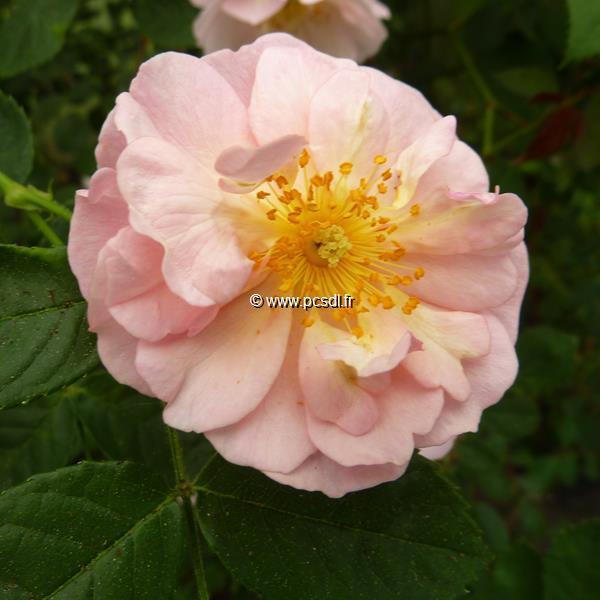 Rosa \'Félicia\' 40/60 C4L