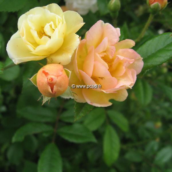 Rosa \'Ghislaine de Féligonde\' 40/60 C3L