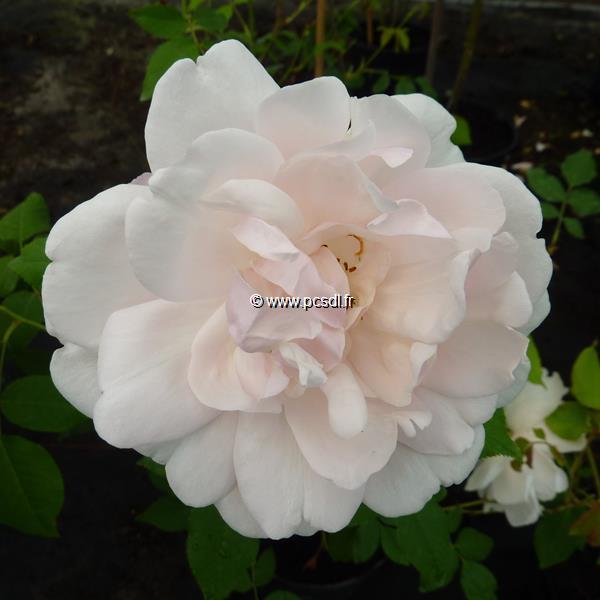 Rosa \'Mme Alfred Carrière\' C4L 80/100