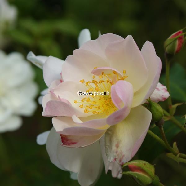 Rosa \'Sourire d\'Orchidée\' 40/60 C4L