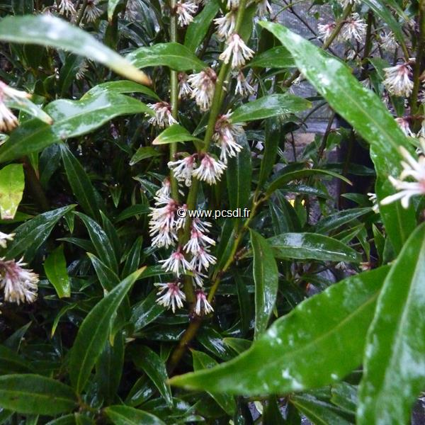 Sarcococca hookeriana var. digyna C3L 30/40