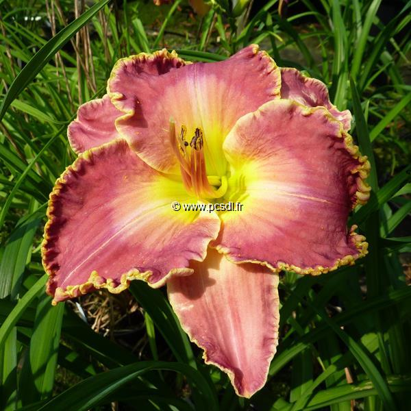 Hemerocallis \'David Kirchhoff\' C3L