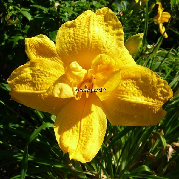 Hemerocallis \'Double Doubloon\' C3L