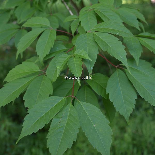 Acer cissifolium (2)