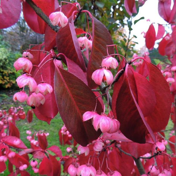 Euonymus grandiflorus \'Ruby Wine\' ® C4L 40/60