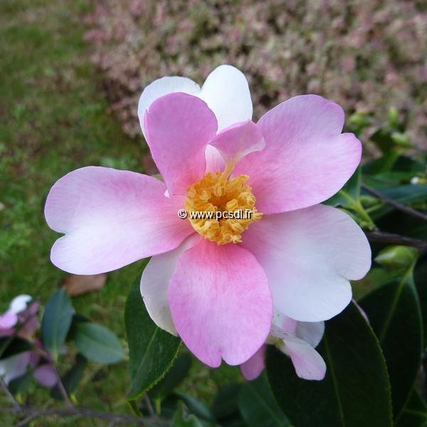 Camellia x sasanqua \'Yume\'