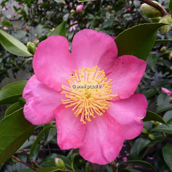 Camellia sasanqua \'Evangeline\' C7L 40/60