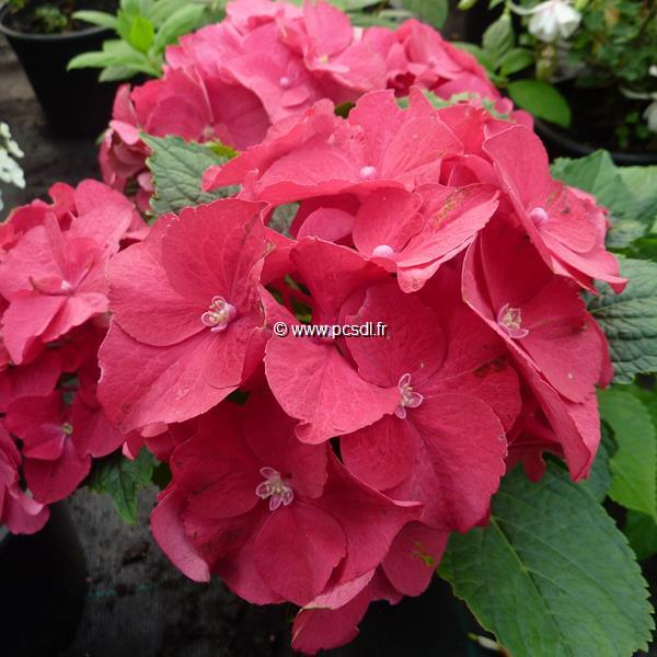 Hydrangea macrophylla \'Hot Red\' ® C4L 20/40