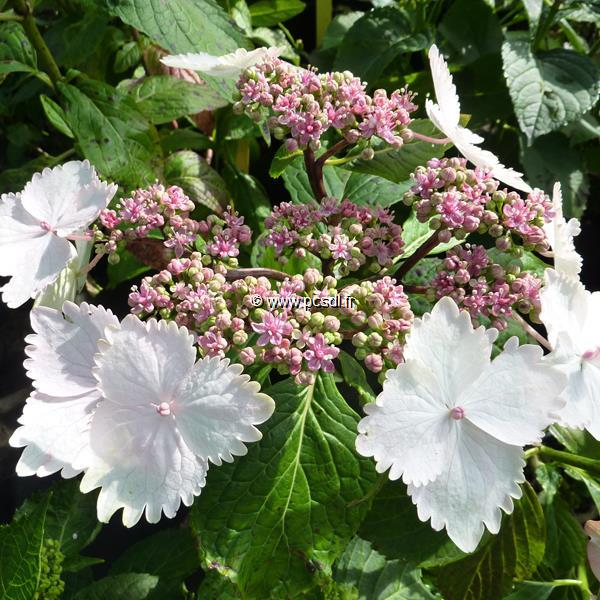 Hydrangea macrophylla \'Jean Varnier\' 20/40 C4L