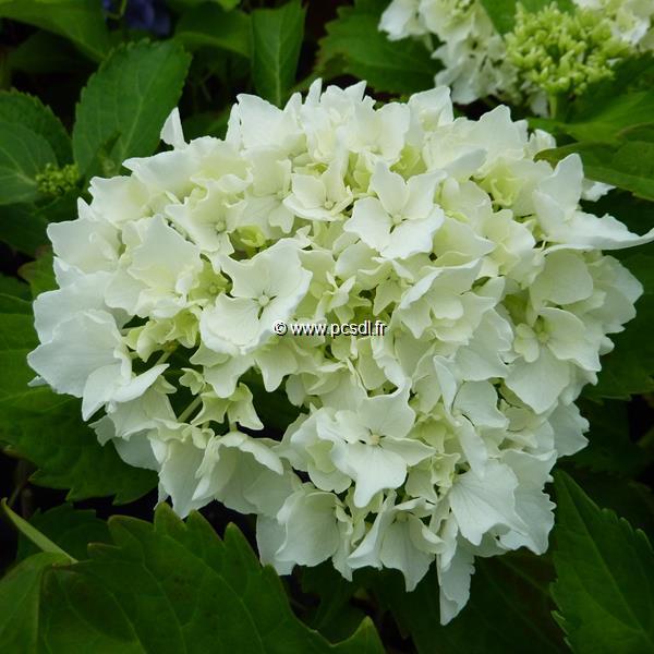 Hydrangea macrophylla \'Nymphe\' C4L 20/40