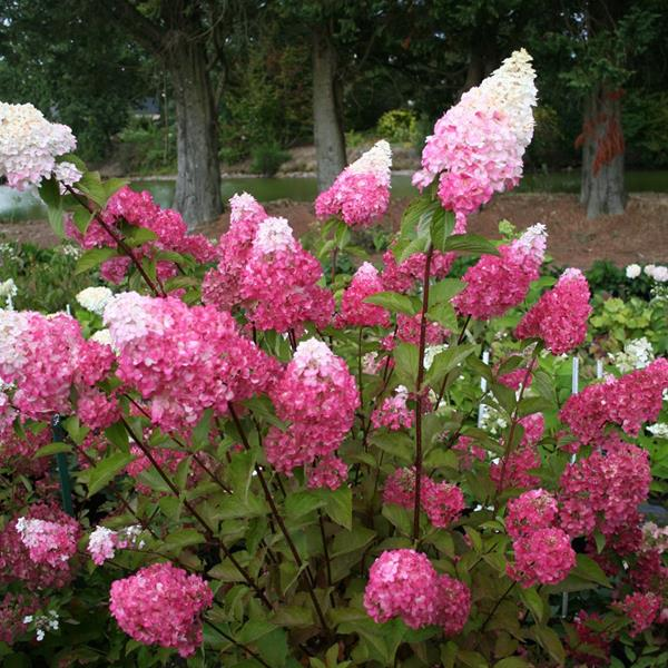 Hydrangea paniculata \'Fraise Melba\' ® C4L 30/40