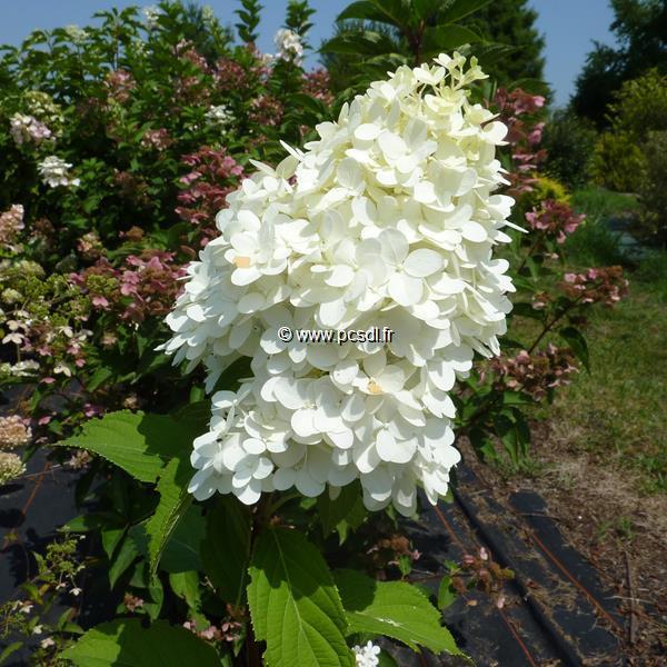 Hydrangea paniculata \'Diamantino\' ® 40/50 C4L