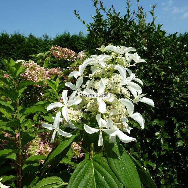 Hydrangea paniculata \'Great Star\' ® C15L 80/100