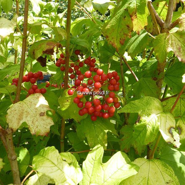 Viburnum opulus \'Park Harvest\' C4L 125/150