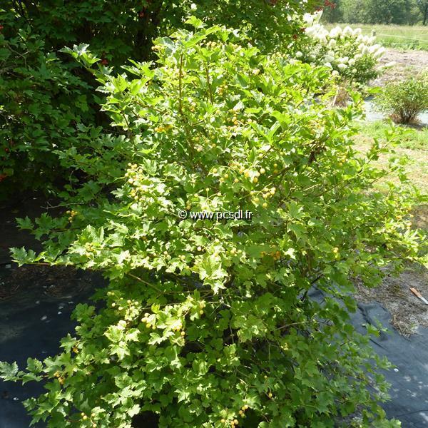 Viburnum opulus \'Xanthocarpum\' C4L 40/60