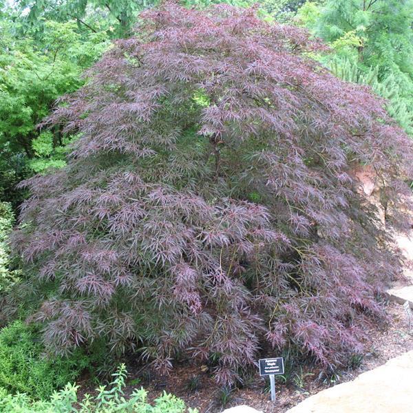 Acer palmatum \'Dissectum Tamukeyama\'